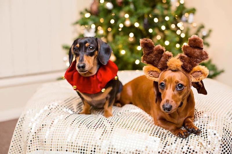 Christmas sausage dogs